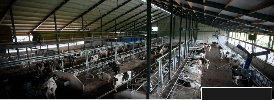 overzichtsfoto koeien