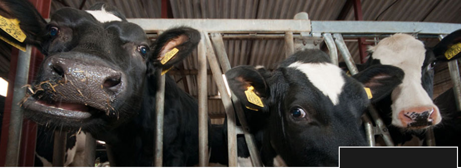gekke koeien foto
